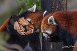 GlennJ - Red Pandas