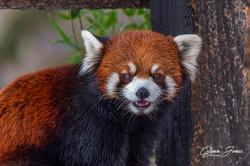 GlennJ - Red Panda