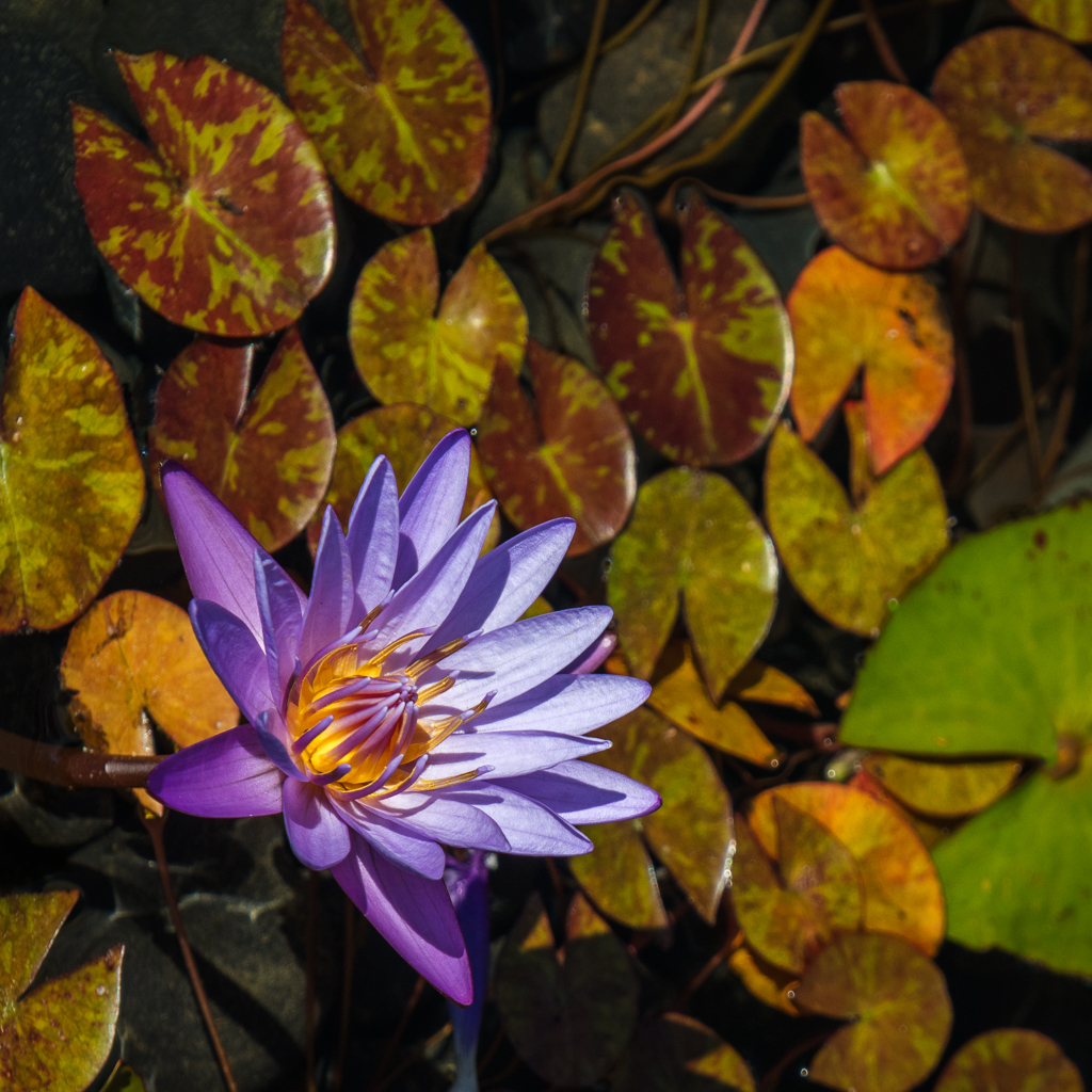 DonP - Water Lily