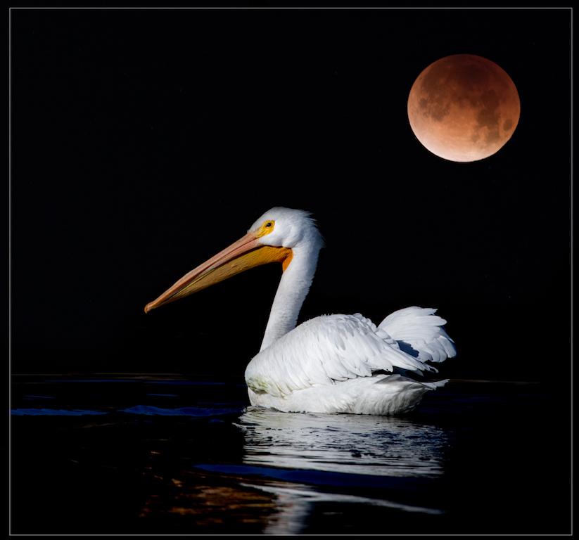 GailS-Pelican w Super Moon