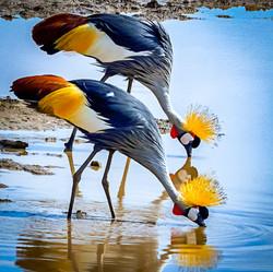 GailS-Cranes drinking