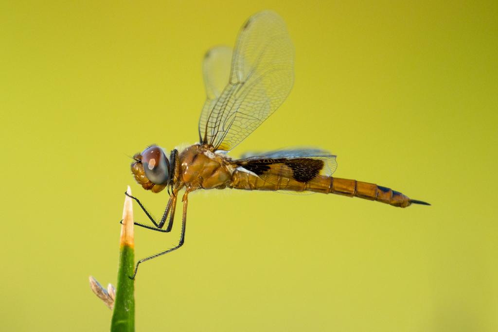 Jennifer R, Dragonfly