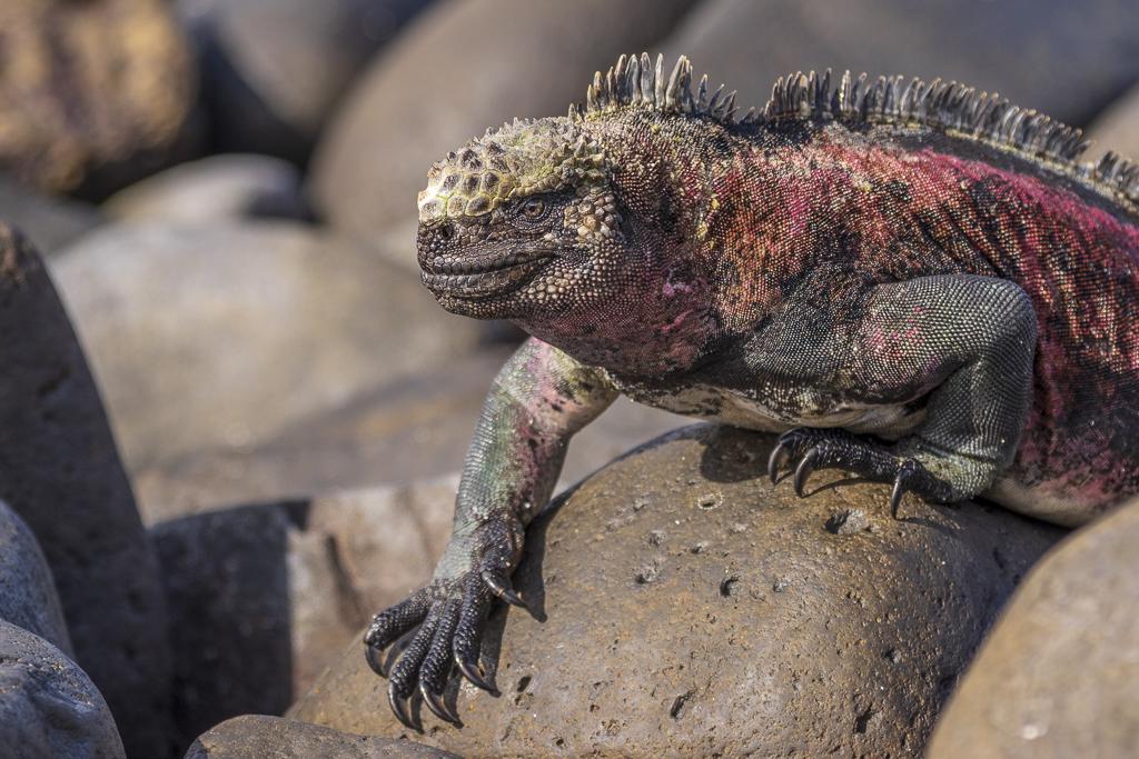 GlennJ Galapagos Iguana
