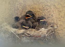 Diane N -  Baby Birds