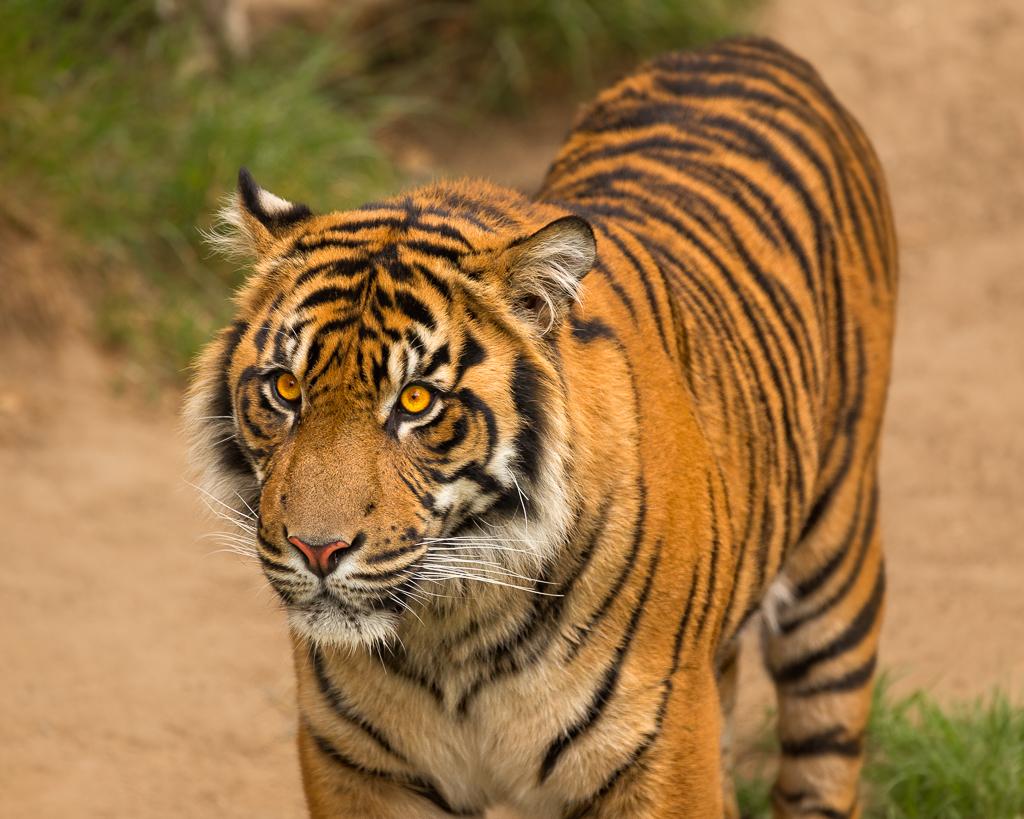 Don P Tiger Eyes