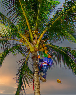 DonP Cutting Coconuts