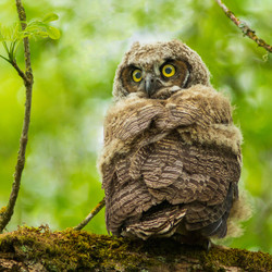 Jennifer R, Great Horned Owlet