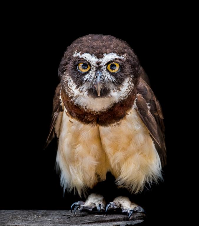 Owl on Tree Stump - Paul P