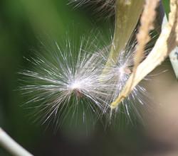 VHanback - Milkweed