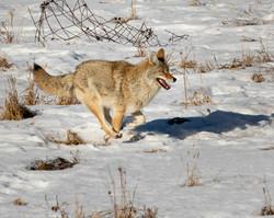 NeilM - Coyote