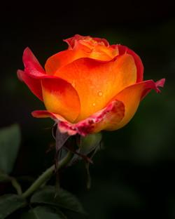 NeilM - Rose