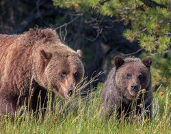 NeilM - Grizzly Mom and Cub