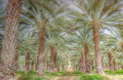 GailS Date Palms