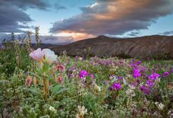 GailS-Anza wildflowers