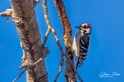 GlennJ - Hairy Woodpecker