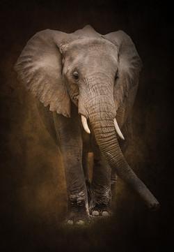 JeffF-African-Elephant