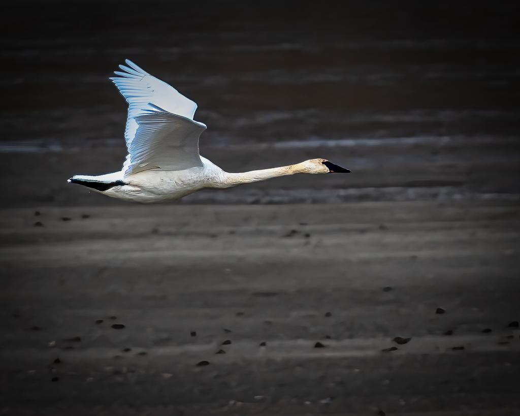 DonS Trumpeter Swan