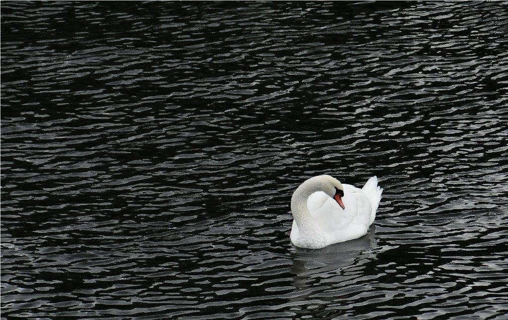 DonW - Swedish swan