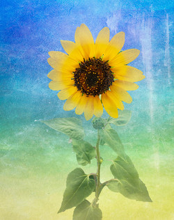 JeffF-Sunflower