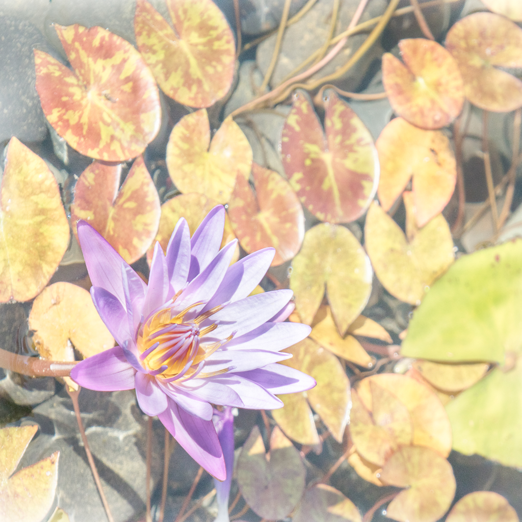 DonP - Water Lily High Key