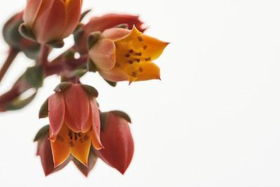 Flores macro 0007.jpg