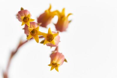 Flores macro 0014.jpg