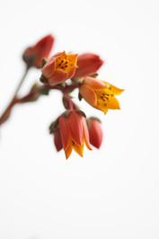 Flores macro 0005.jpg