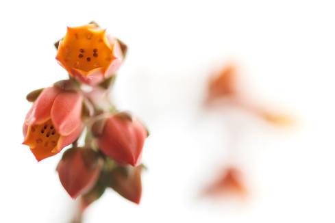 Flores macro 0003.jpg