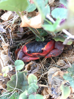 Red-backed Land Crab