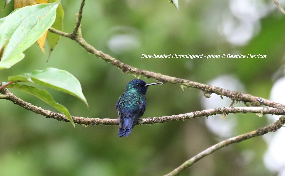 Blue-headed%2520Hummingbird%2520photo%2520by%2520Beatrice%2520Henricot_edited_edited.jpg