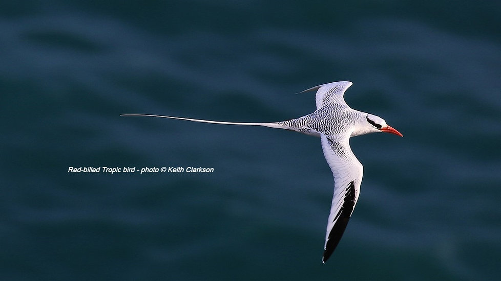 Red-billed%20Tropicbird%20photo%20by%20Keith%20Clarkson_edited.jpg