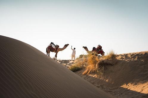Desert Camels, Jodhpur