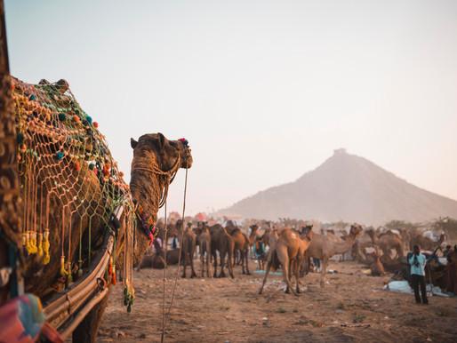 Pushkar and The Crazy Camel Fair
