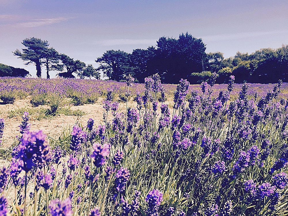 Immersed in Jersey Lavender Farm Fields