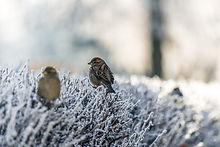 Oiseaux sur l'herbe gelée