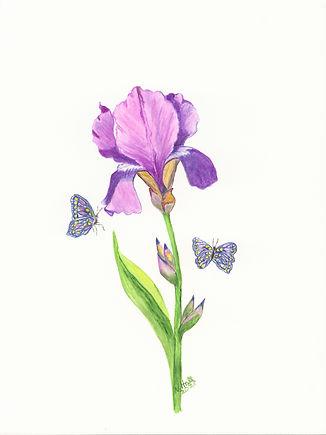 Iris with butterfly copy-p1f4ia0kec7lm2f