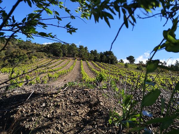 Vigne de Maury - Côtes du Roussillon