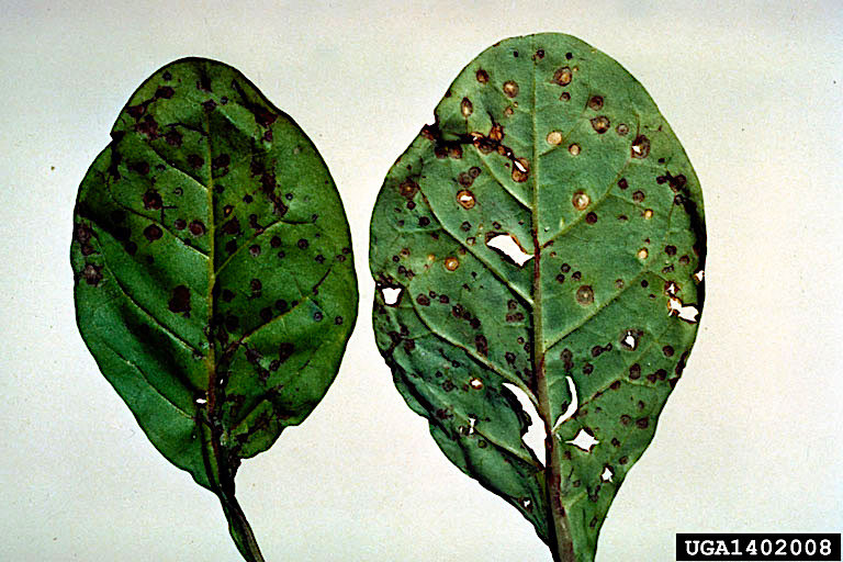 Anthracnose refers to a symptom rather than a specific fungus.