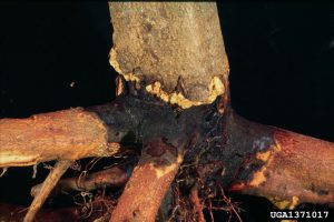 Root & Crown Rot