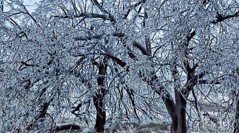 Tree species resistant to ice damage can be planted to reduce tree and property damage from ice storms.