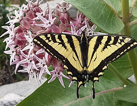 Swallowtail milkweed Vblow_edited.jpg