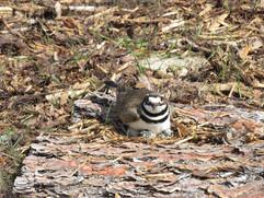 Killdeer nest in restoration.JPG