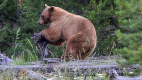 Understanding bears