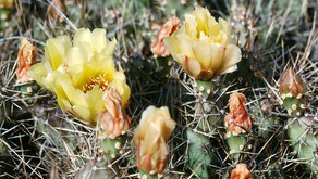 Brittle Prickly Pear Cactus