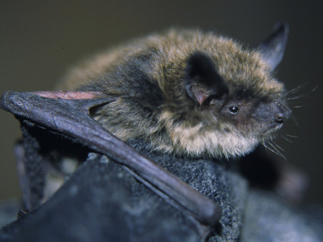 Bats and White Nose Syndrome