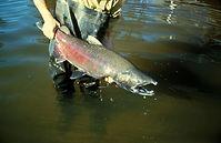 Chinook Salmon