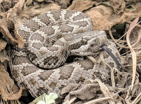 Where do rattlesnake babies come from?