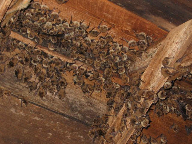 Yuma Myotis Colony