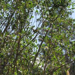 Native Willow species