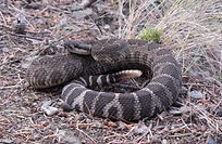 Western (Northern Pacific) Rattlesnake